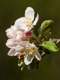 Pear branch with flowers and buds Stock Photo