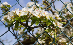 Pear Branch with Flowers Transferring a Fence Royalty Free Stock Photography
