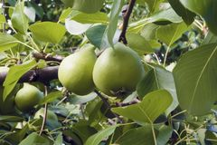 Pear branch with fruits and leaves. Pear tree with green leaves and fruits on a sunny summer day Stock Image