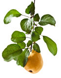 Pear on a branch Stock Photo