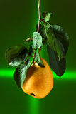 Pear on a branch Royalty Free Stock Image
