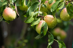 Pear on a branch in an orchard Royalty Free Stock Images