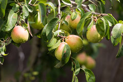 Pear on a branch in an orchard Royalty Free Stock Photos