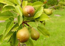 Pear branch Royalty Free Stock Images