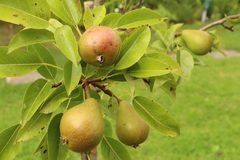 Pear branch Royalty Free Stock Photo