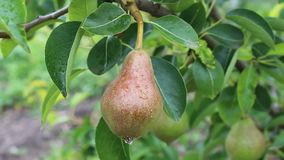 Pear from Bulgaria. Photo was taken in a small Bulgarian farm stock footage