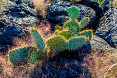 A Pear Cactus in the Valley of Fire Lava Field in New Mexico Stock Image