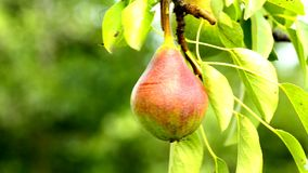 Pear for cider at a tree. With summer breeze in Germany stock footage