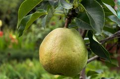 Pear on the columnar pear tree. In the summer garden royalty free stock images