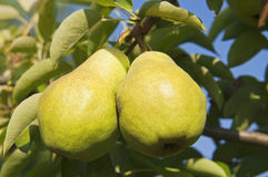 Pear crops on tree Stock Images