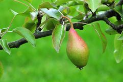 Pear of cultivar countess of Paris at tree. Close-up of a twig of a pear tree with growing fruit of traditional cultivar countess of paris stock photography