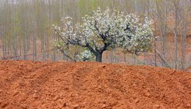 The pear in farmland Royalty Free Stock Photography