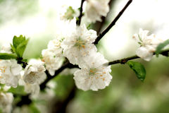 Pear-flower Stock Images