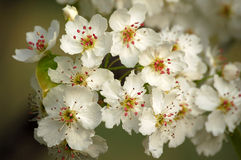 Pear flower. Blooming peach flowers in spring Stock Photography