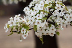 Pear flower in April. Charming pear flower in April Stock Image