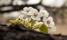 Pear flower in April. Close up of the pear flower in April Stock Image