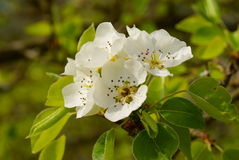Pear flower blossom Stock Photo