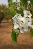 Pear flower Stock Photography