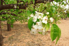 Pear flower Stock Images