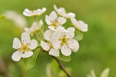 Pear flower Royalty Free Stock Photography