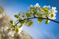 Pear flower. Like night of spring breeze comes suddenly Thousands of trees critics, pear flower open Stock Photos