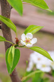 Pear flower tree on branch Stock Images
