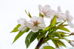 Pear flower on white Royalty Free Stock Photography