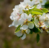 Pear flowering Royalty Free Stock Photos