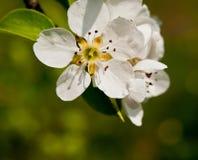 Pear flowering Royalty Free Stock Photos