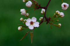 Pear Flowers Stock Photography