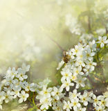 Pear flowers and bee Stock Images