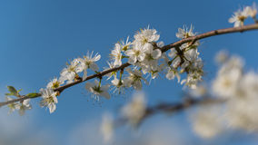 Pear flowers in bloom. Pear blossoms on a sunny day in spring stock images