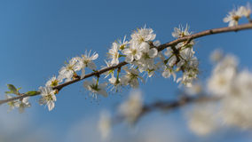 Pear flowers in bloom. Pear blossoms on a sunny day in spring stock photos