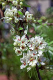 Pear flowers blossom in spring garden. Tinted photo. Stock Image