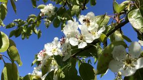 Pear flowers stock footage