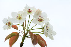 Pear flowers Stock Image