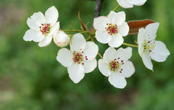 Pear flowers Stock Images