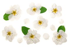 Pear flowers isolated on white background. Top view. Flat lay. Set or collection.  stock photo