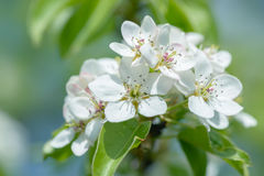 Pear flowers on pear tree. In sunny day background Royalty Free Stock Photo