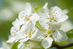 Pear flowers on pear tree. In sunny day background Royalty Free Stock Photos
