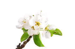 Pear flowers (Pyrus communis) Stock Image