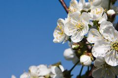 Pear flowers in the spring sunny garden. 