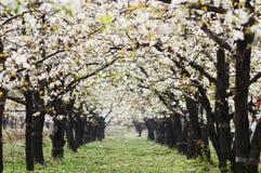 Pear flowers Stock Photos