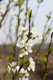 Pear flowers Royalty Free Stock Photography