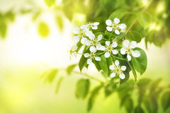 Pear flowers. stock photo