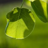 Pear foliage Royalty Free Stock Photos