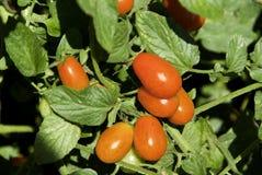 pear formade tomater Fotografering för Bildbyråer