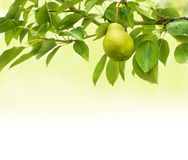 Pear fruit background Stock Photography