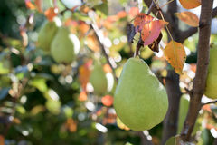 Pear fruit Royalty Free Stock Photography