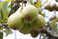 Pear fruit in the garden. In summer Stock Photos